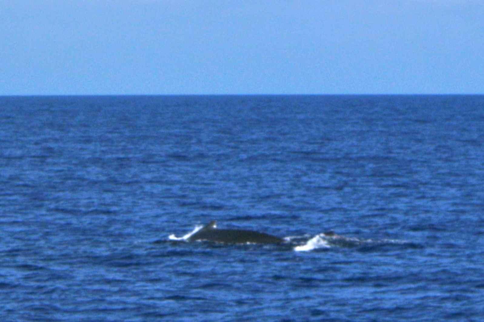 Denn im Sommer vor Hawaii gibt es für die Wale mit ihrem großen ...