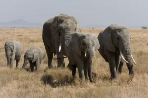 Elefantenherde1